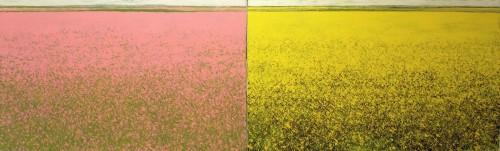 colza rose et jaune.jpg