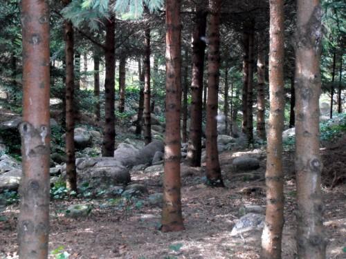 Forêt vosgienne (6).JPG